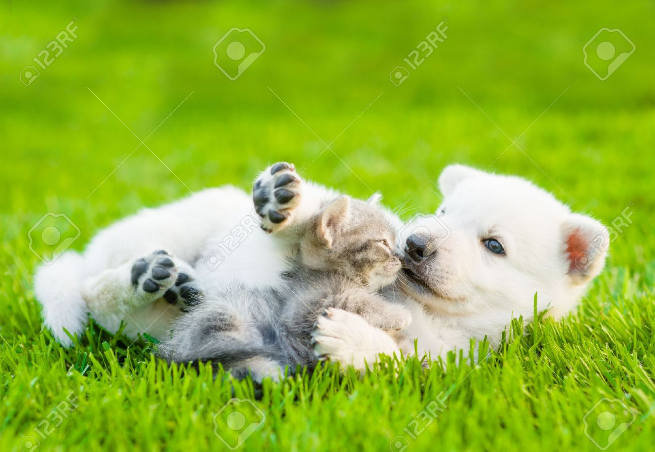 White Swiss Shepherd`s puppy playing with tiny kitten on green grass - 45028762