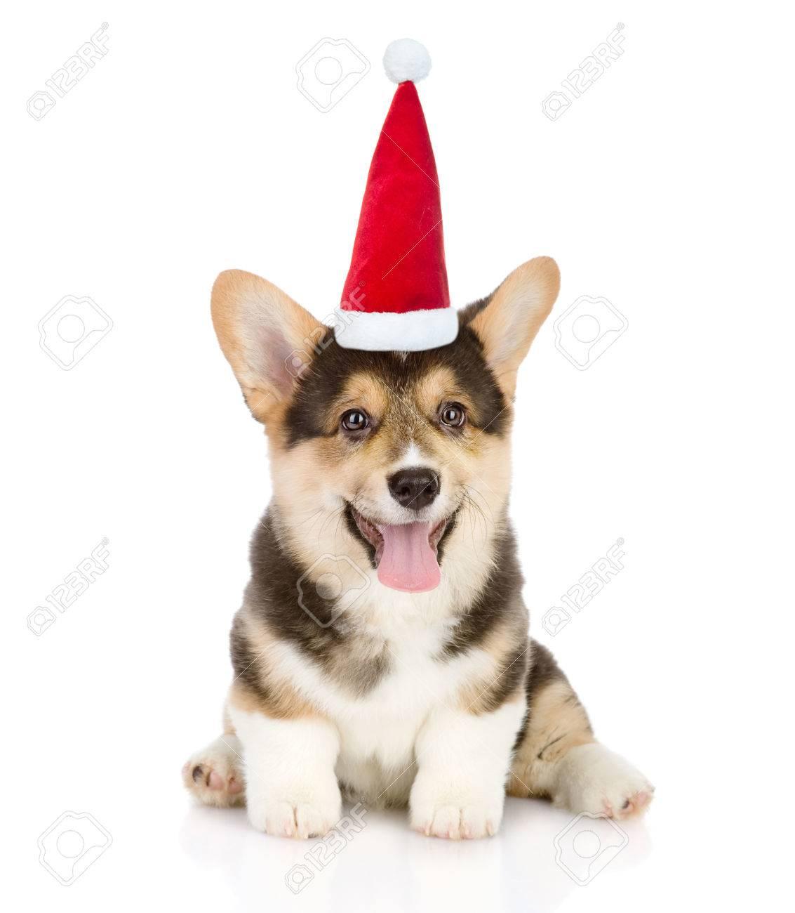 corgi santa hat