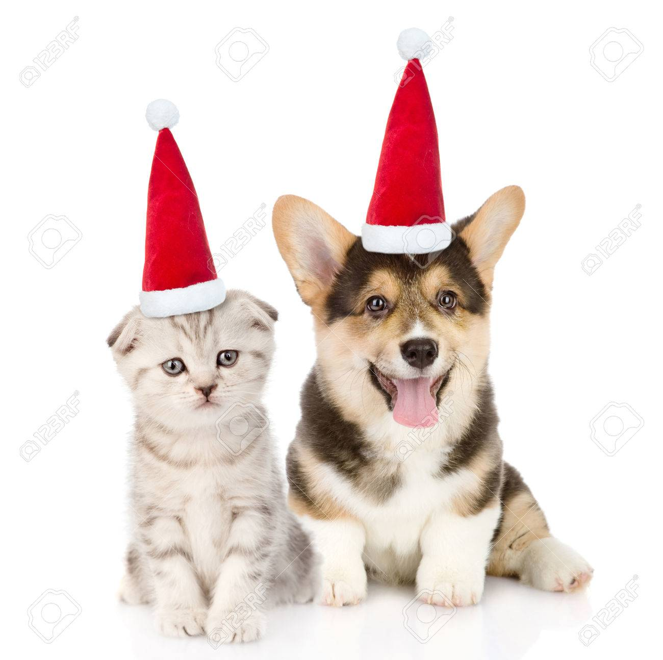 Pembroke Welsh Corgi puppy and kitten in red christmas hats sitting in  front view together. 5df0e161759a