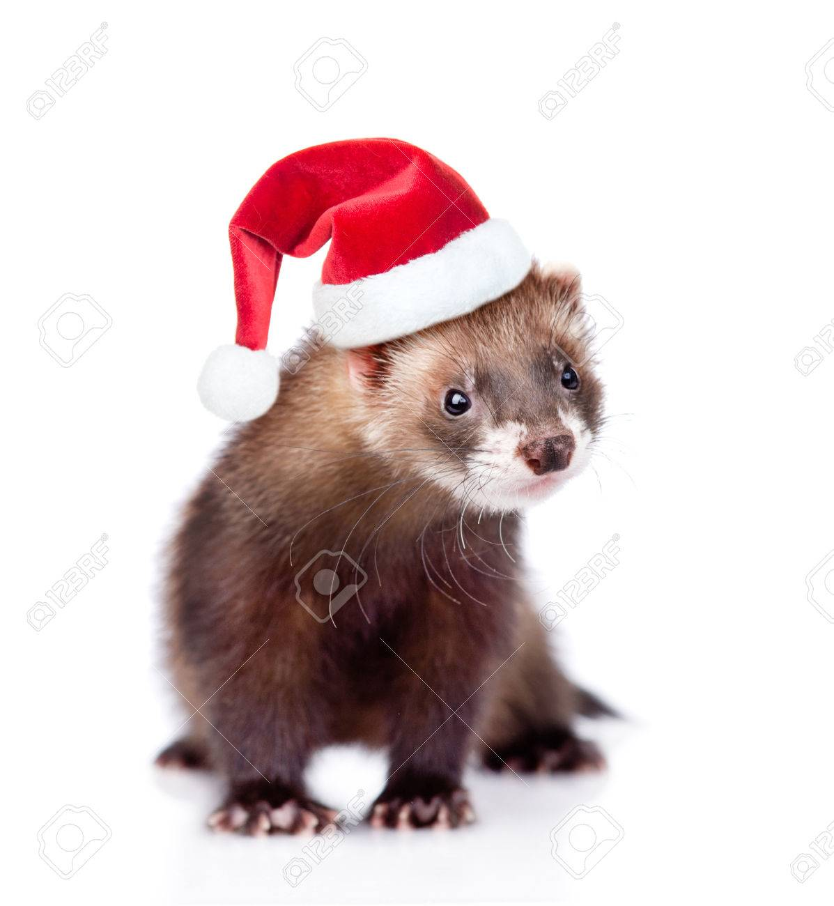 Christmas Ferret.Ferret In Red Christmas Hat Looking At Camera Isolated On White