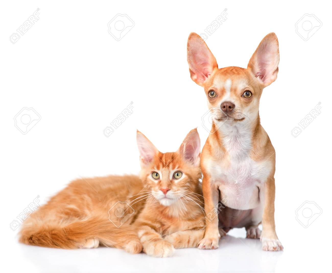 Tiny Chihuahua Puppy And Maine Coon Cat Together Isolated On Stock Photo Picture And Royalty Free Image Image 49608255