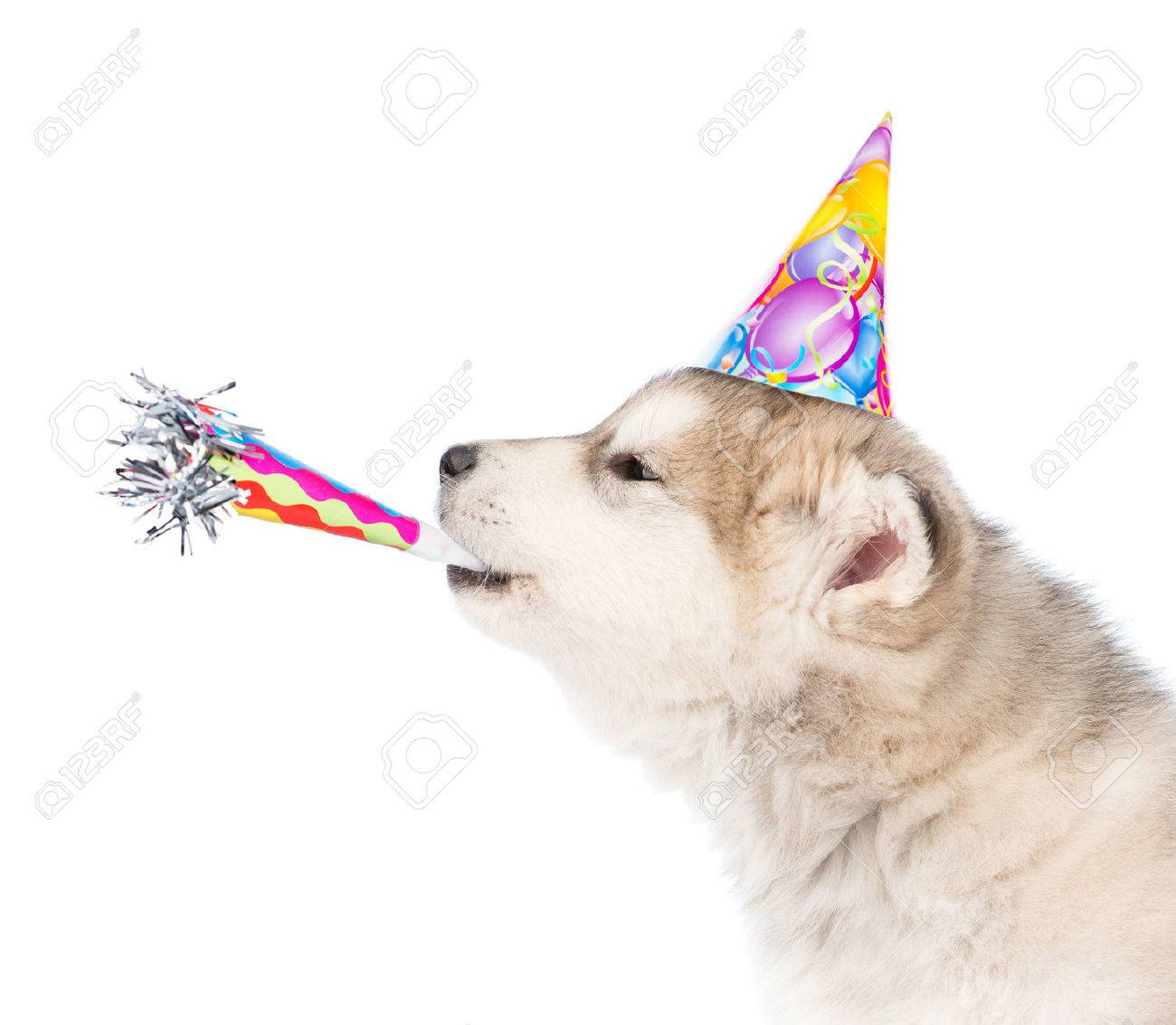 Dog In Birthday Hat Whistle Blowing Isolated On White Background Stock Photo