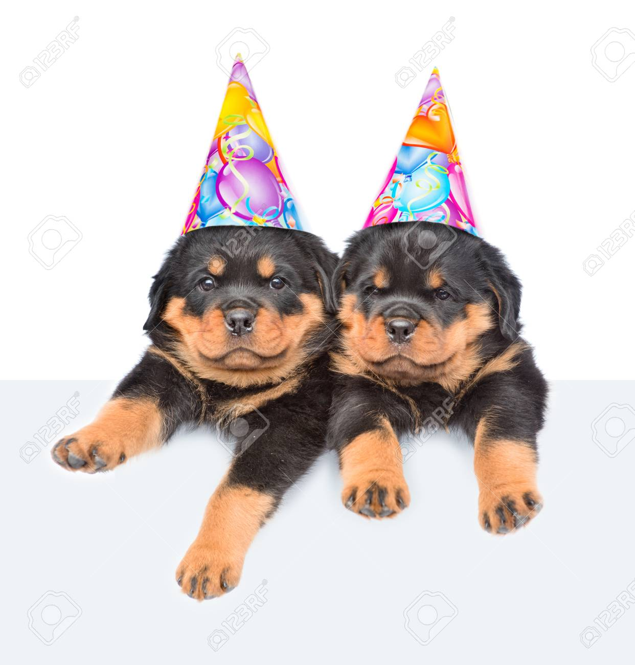 Two Rottweiler Puppies In Birthday Hats Peeking From Behind Empty