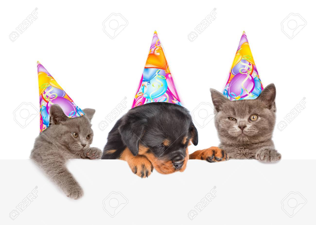 Cats And Dog In Birthday Hats Peeking From Behind Empty Board Isolated On White Background