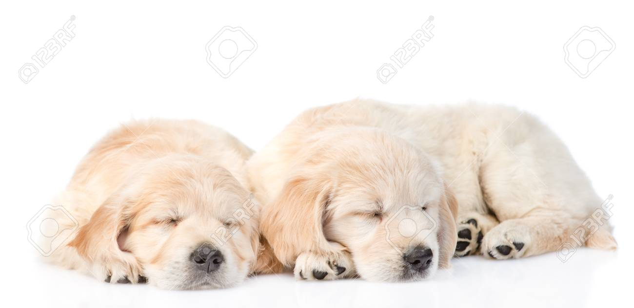 Two Sleeping Golden Retriever Puppy Isolated On White Background