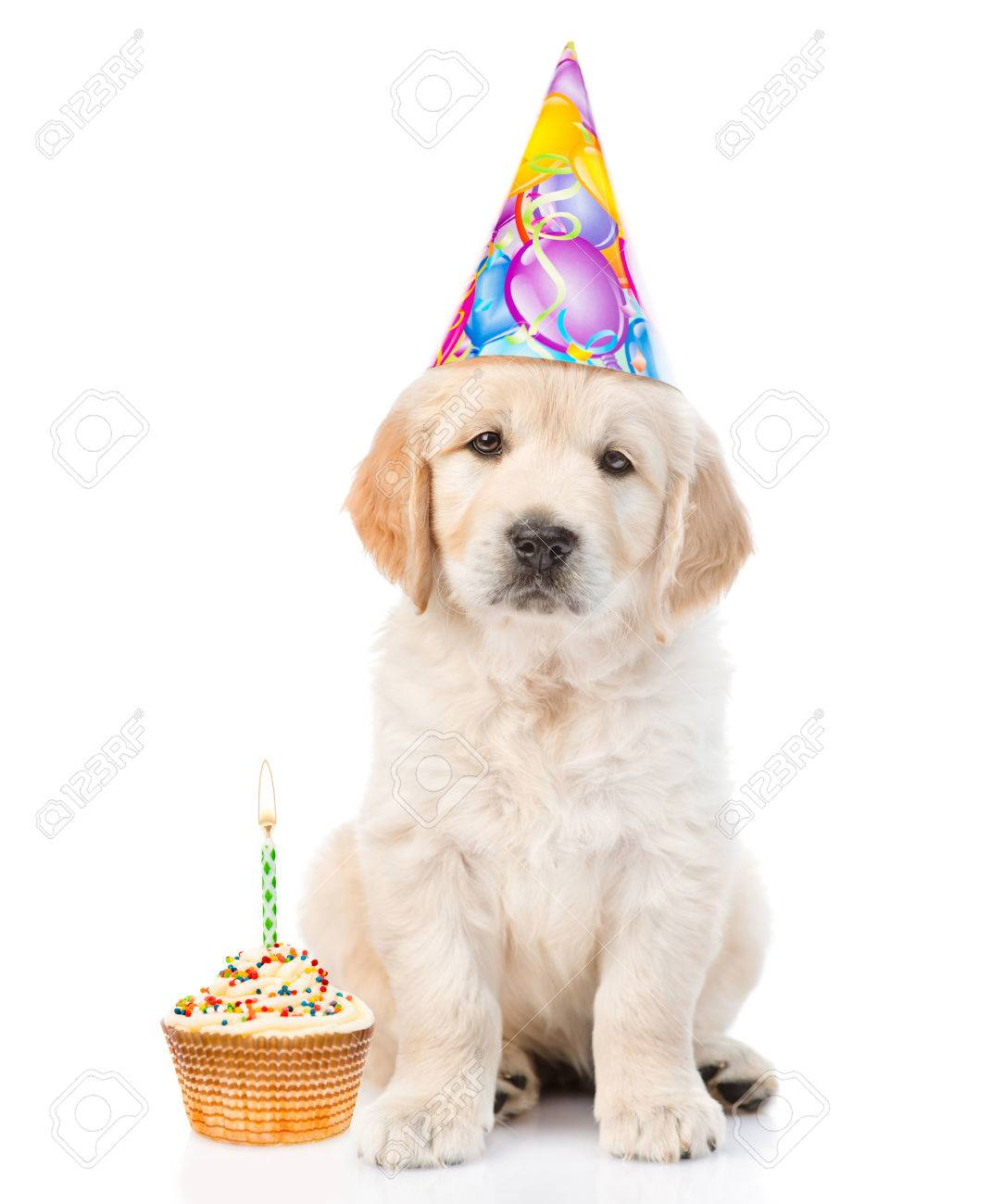 Golden Retriever Puppy In Birthday Hat With Cake Looking At Camera