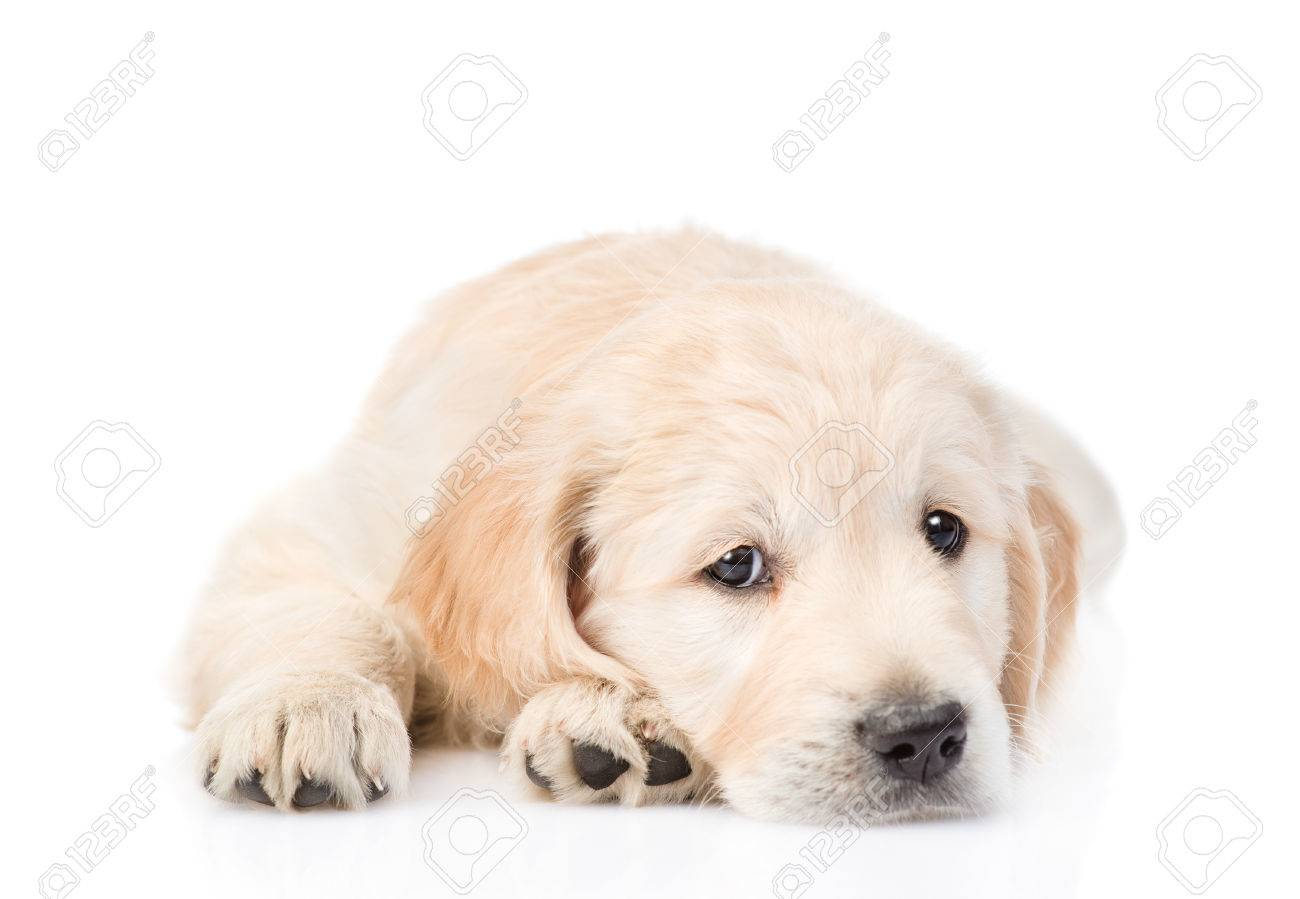 Sad Golden Retriever Puppy Lying In Front View Isolated On White