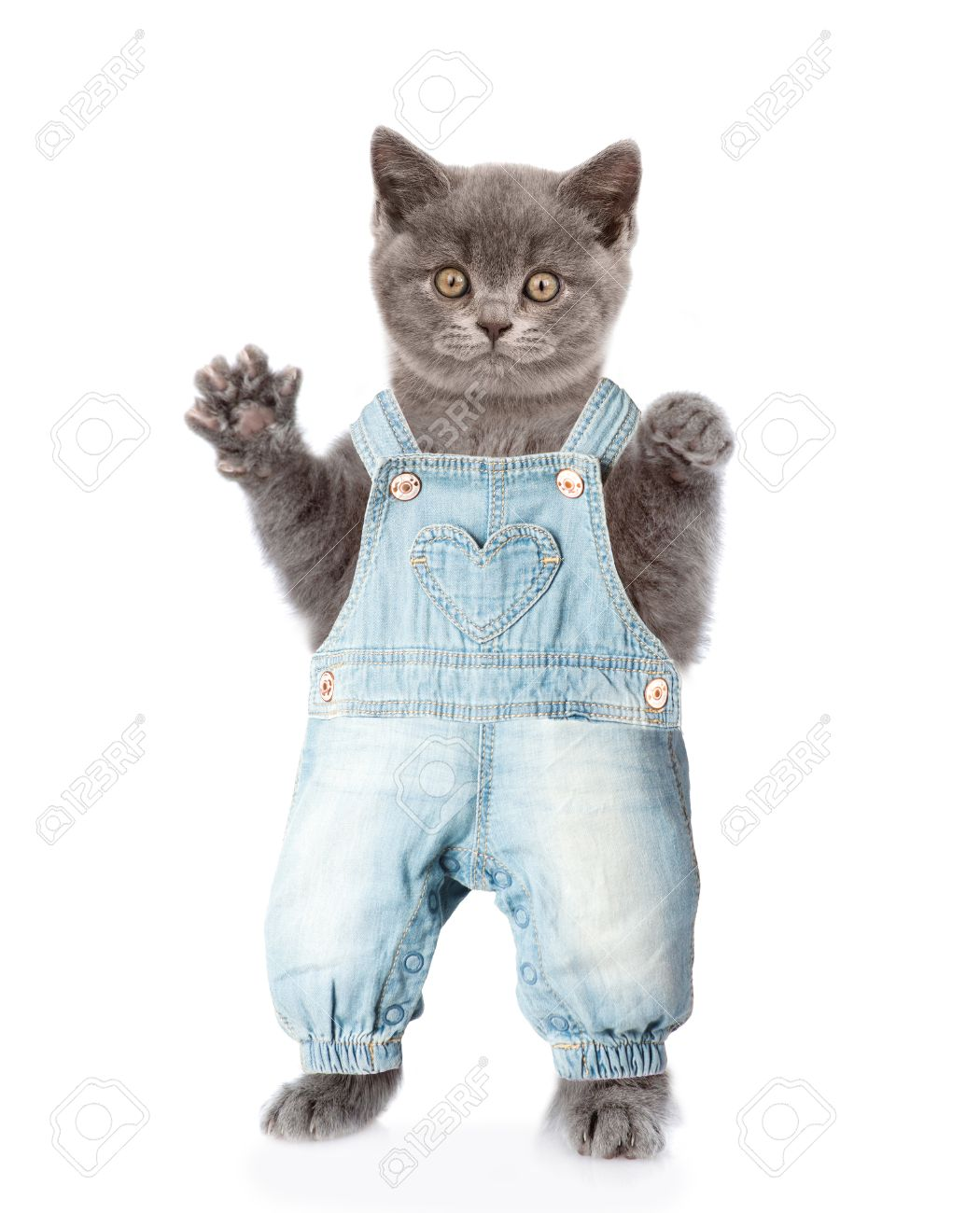 Fat Cat In Jeans Overalls Isolated On White Background Stock Photo