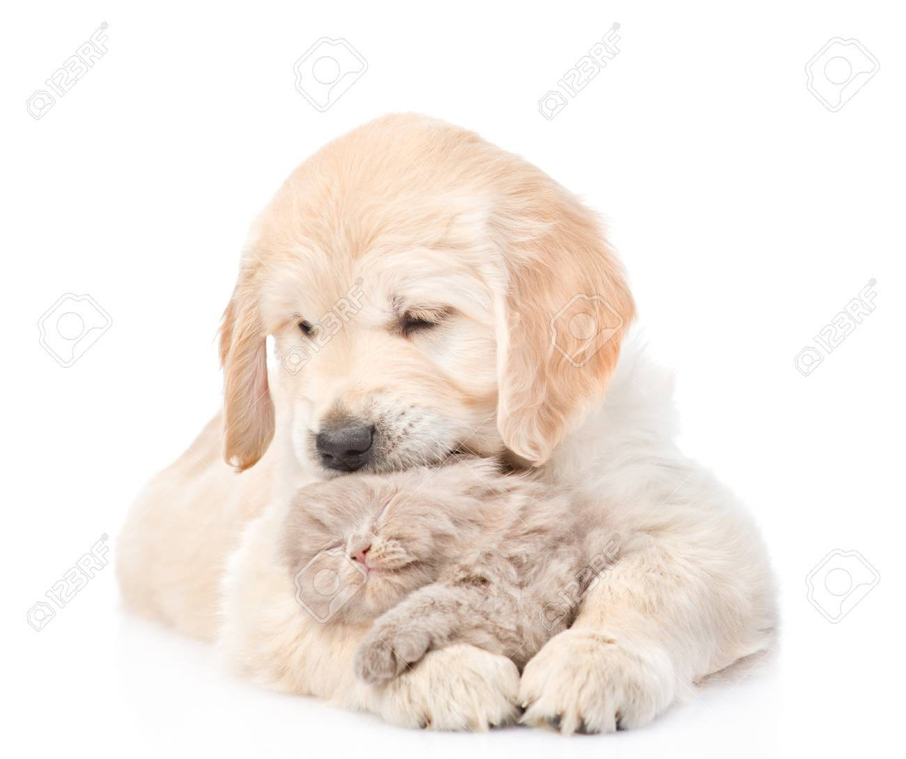 Golden Retriever Puppy Hugging A Small Kitten Isolated On White