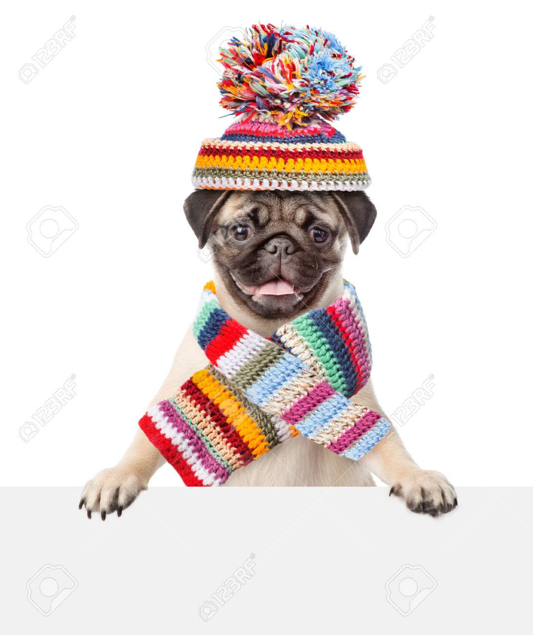 Pug puppy wearing a scarf and warm hat peeking from behind empty board.  isolated on 69f55c72090
