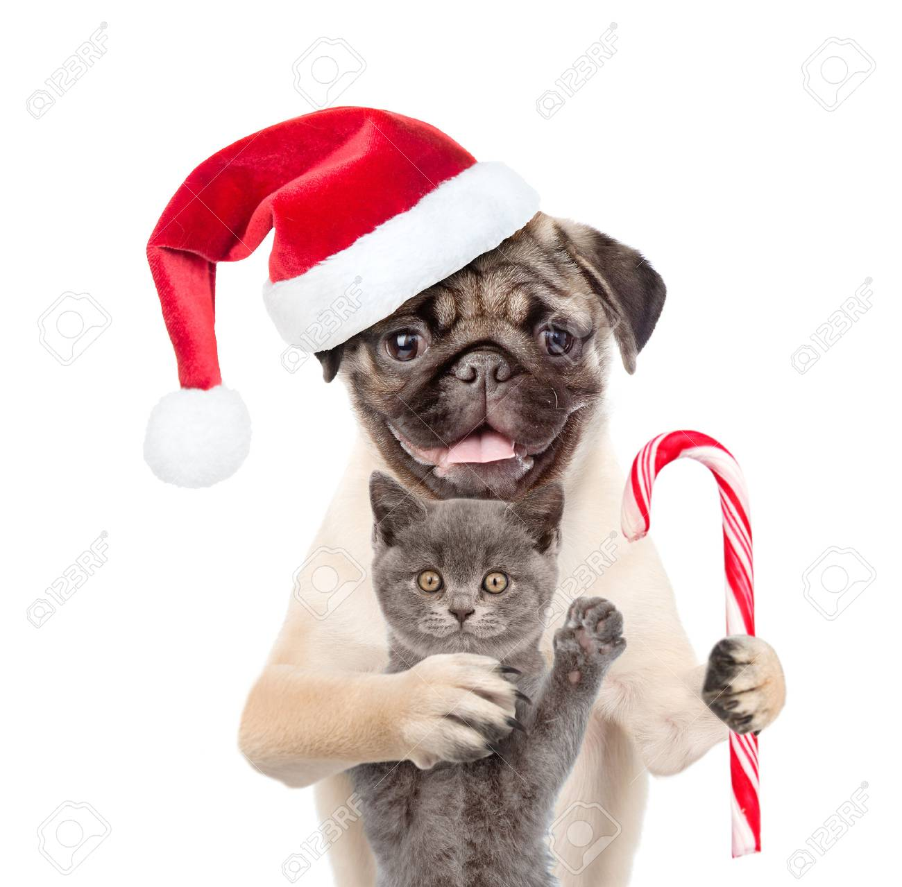 Pug Puppy With Christmas Candy Cane Embracing Scottish Cat In