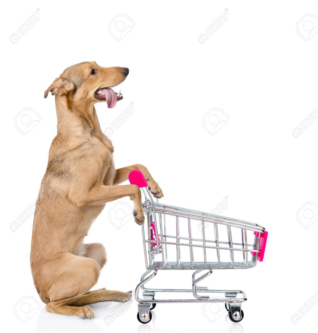 Dog with shopping trolley looking up  isolated on white background
