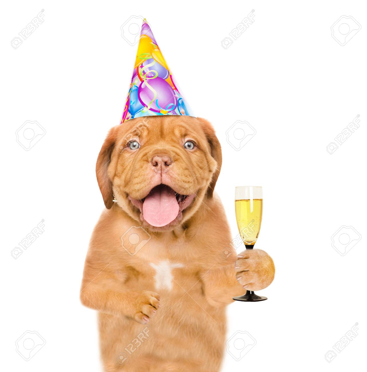 Dog In Birthday Hat Holding Glass Of Champagne Isolated On White Background Stock Photo