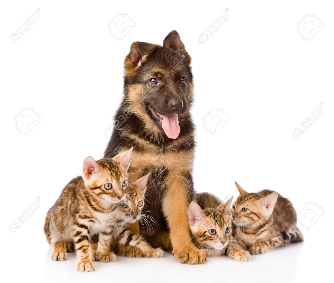German Shepherd Puppy And Bengal Kittens Together Isolated On