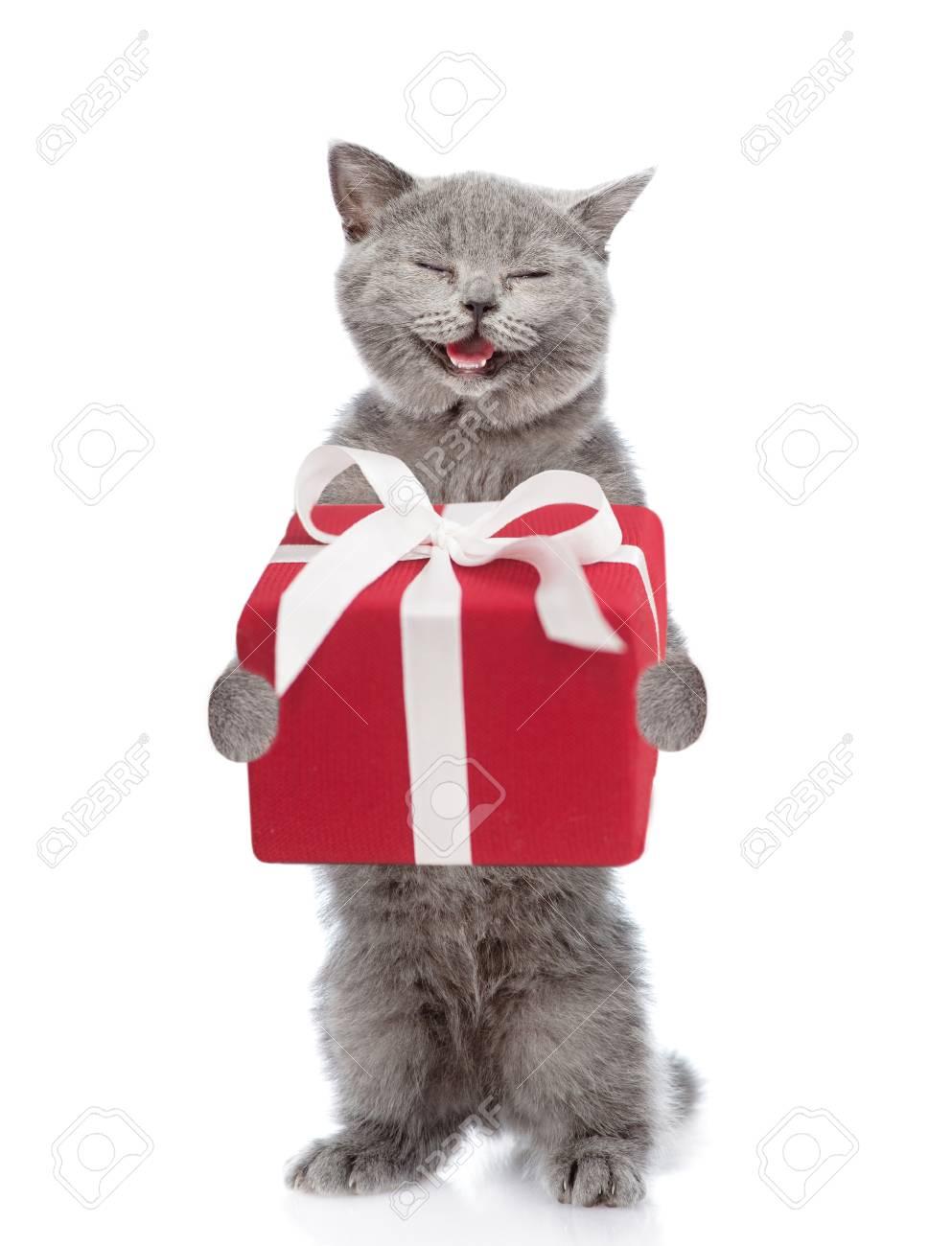 Happy Scottish kitten with gift box. isolated on white background. - 89135883