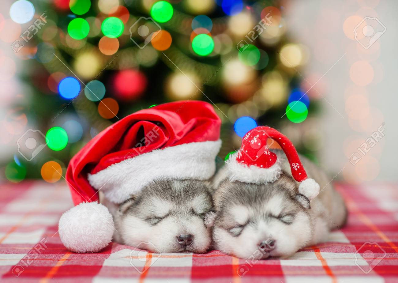 Christmas Puppies.Two Sleeping Puppies In Red Christmas Hats On A Background Of