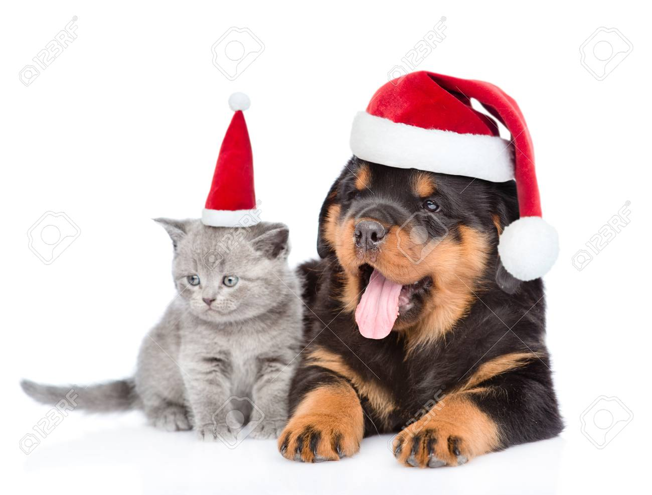 A Puppy For Christmas.Portrait Of A Scottish Kitten And Rottweiler Puppy In Red Christmas