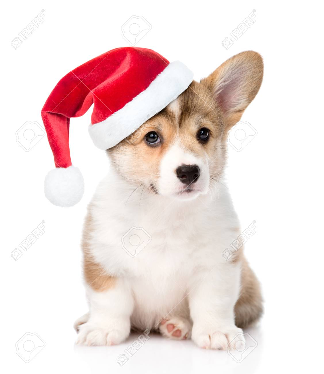 Pembroke Welsh Corgi Puppy With Red