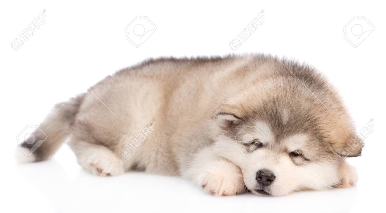 cute fluffy alaskan malamute puppy isolated on white background