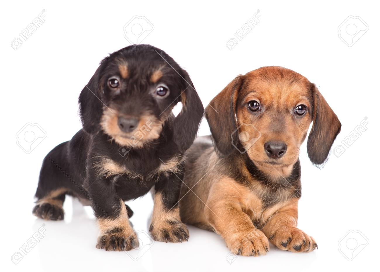 Two Dachshund Puppies Looking At Camera Isolated On White Background Stock Photo Picture And Royalty Free Image Image 93331816