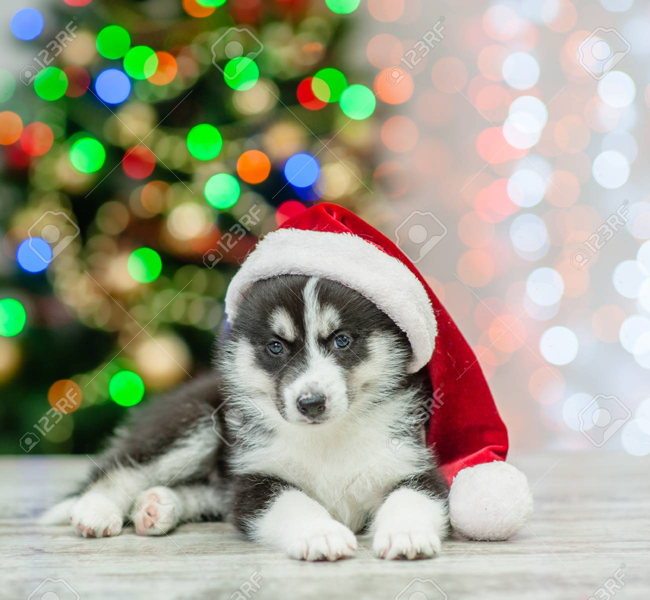 Husky Christmas Puppy.Husky Puppy In Red Sata Hat Lying On A Background Of The Christmas