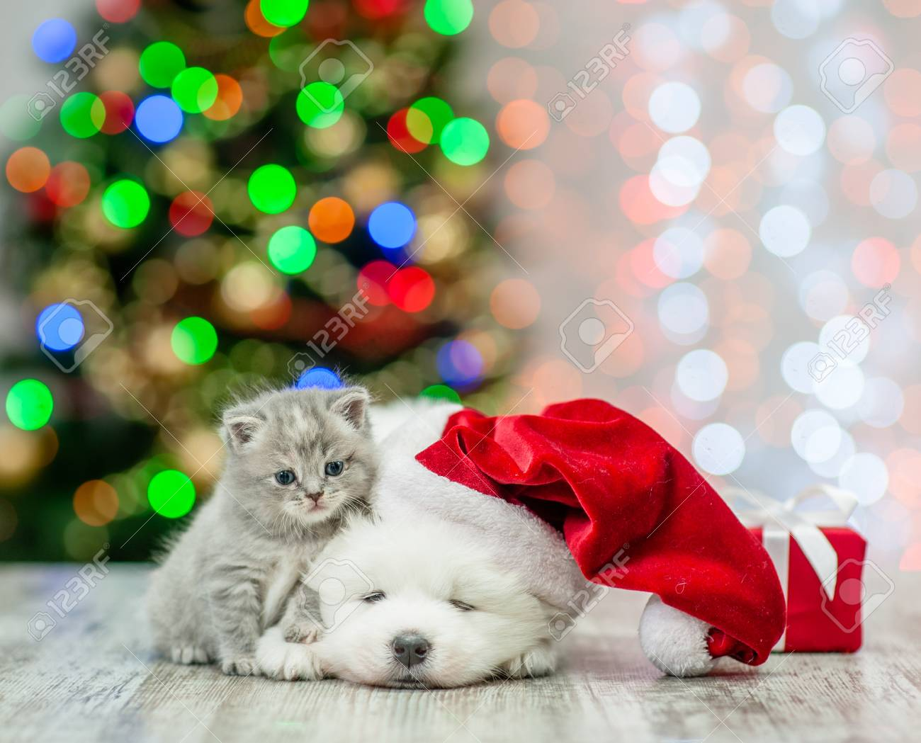 Baby Kitten And Samoyed Puppy In Red Santa Hat With Gift Box Stock Photo Picture And Royalty Free Image Image 93332434