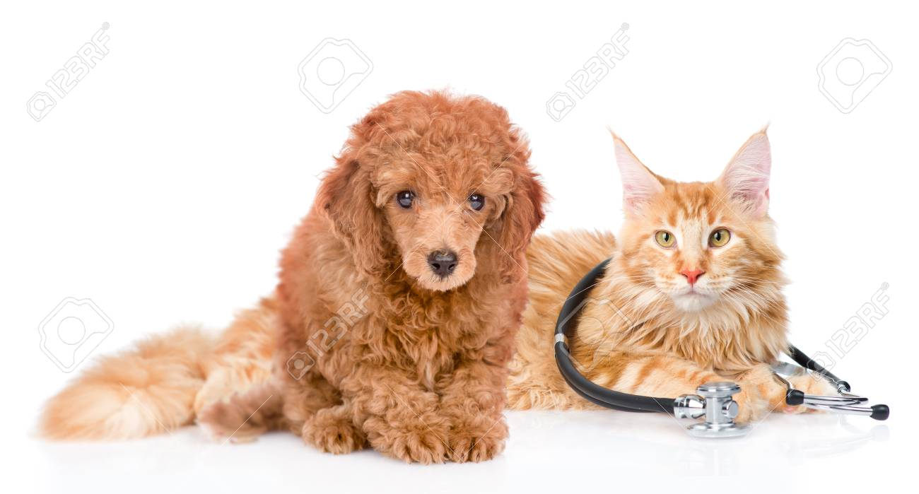 Maine Coon Cat With Stethoscope On Their Neck And Poodle Puppy