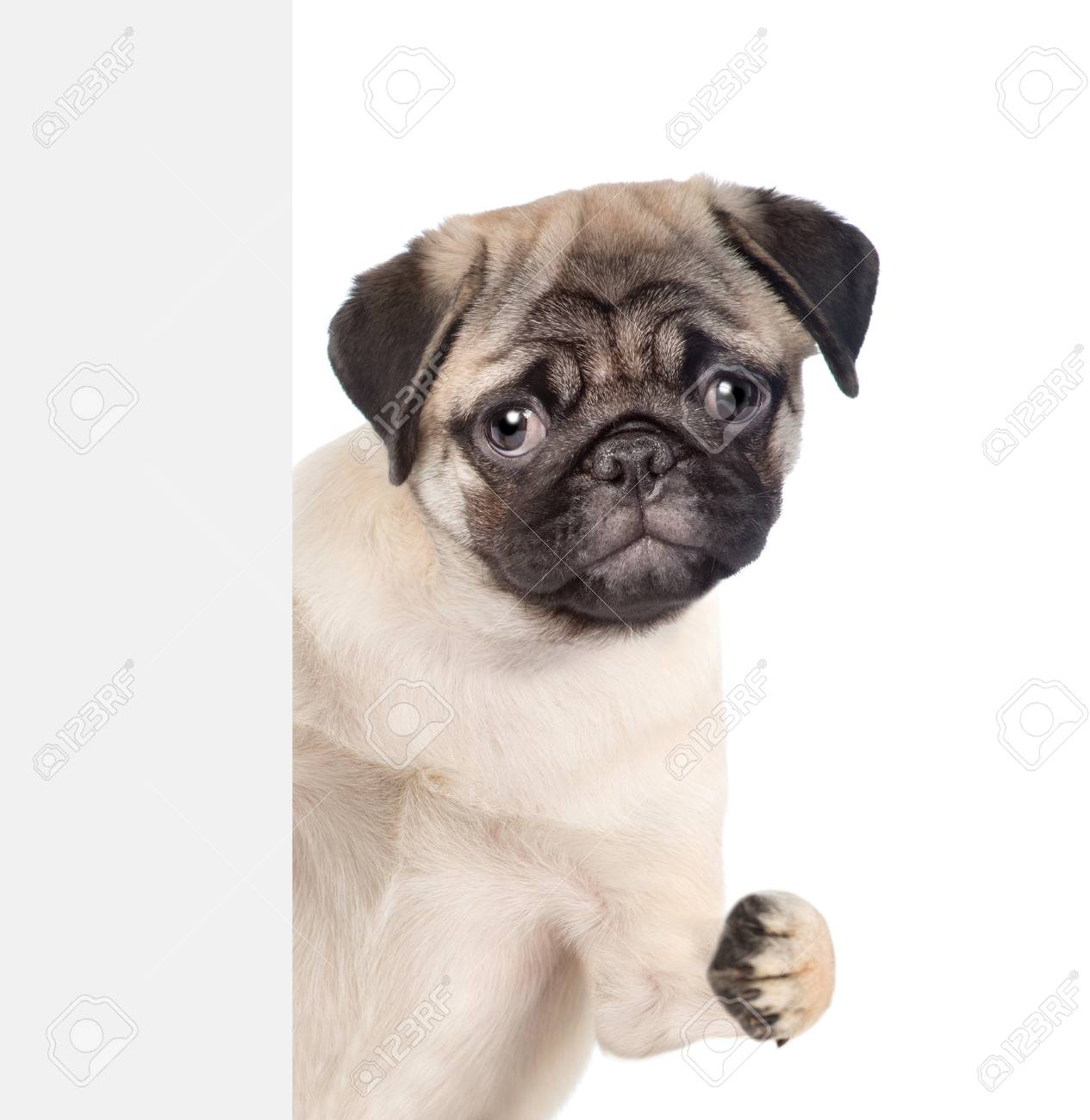Funny Pug Puppy Above White Banner Isolated On White Background Stock Photo Picture And Royalty Free Image Image 95646483