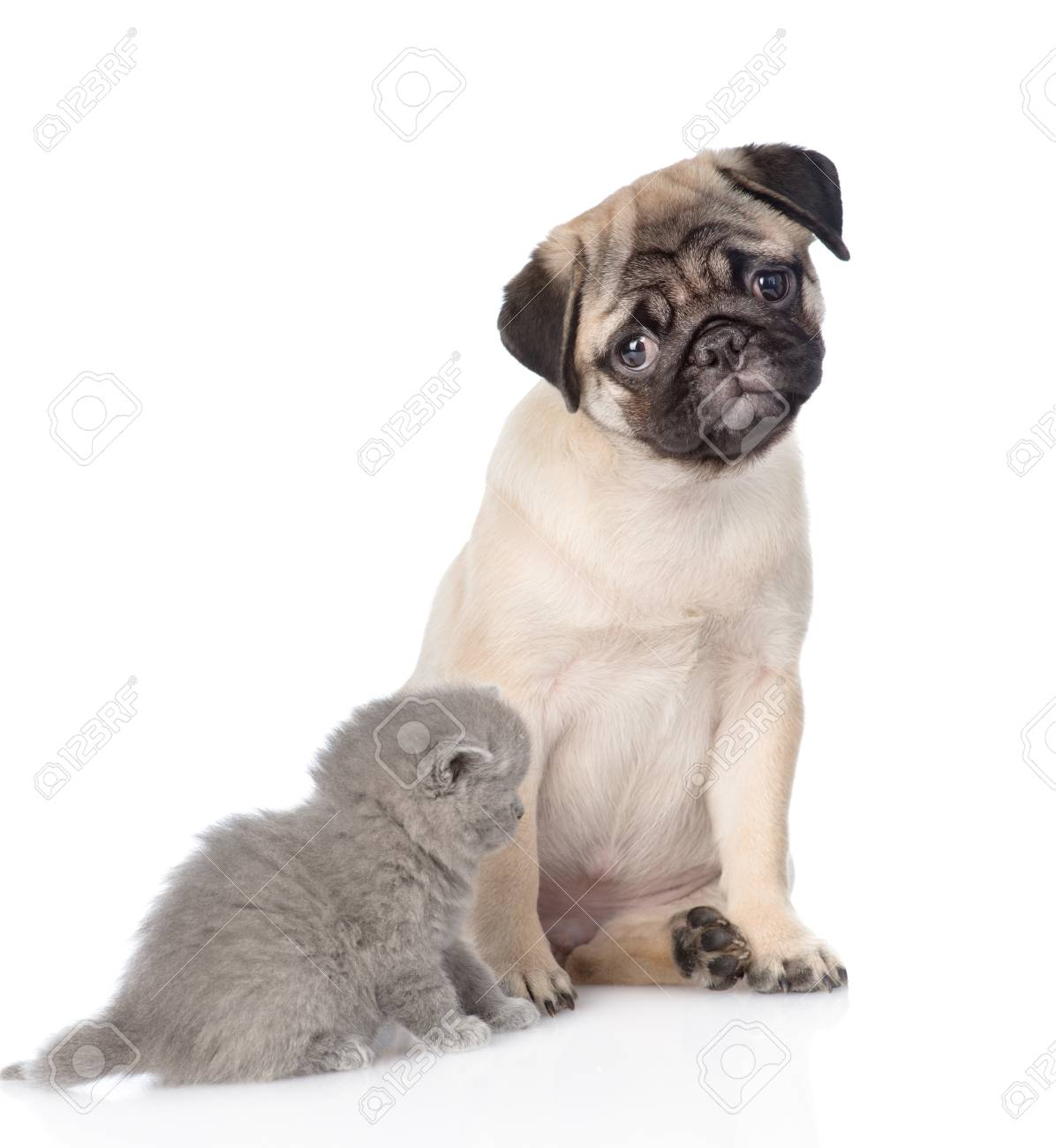 Pug Puppy Sitting With Newborn Kitten Isolated On White Background Stock Photo Picture And Royalty Free Image Image 95645653