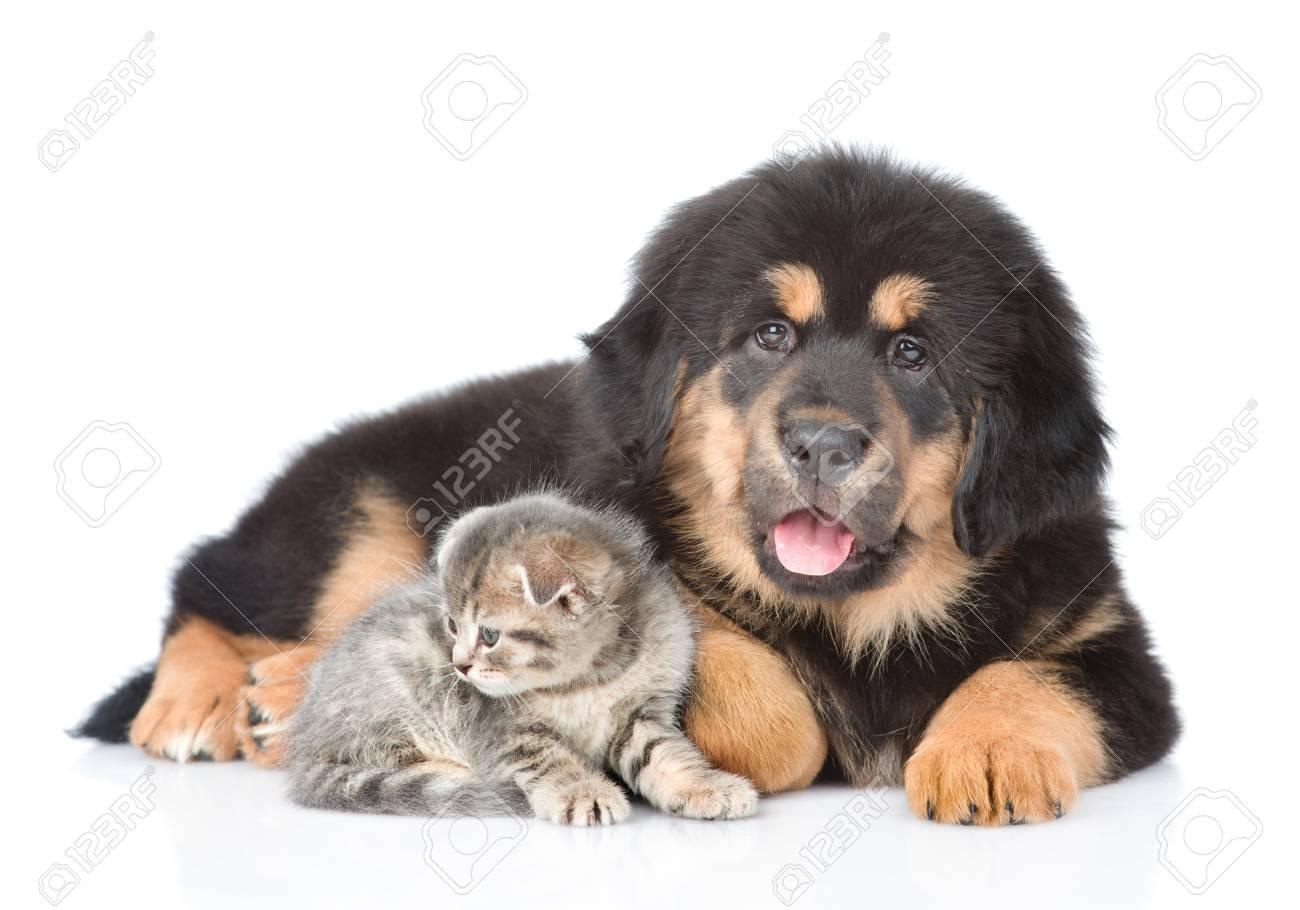 Tibetan mastiff puppy and tabby kitten  isolated on white background