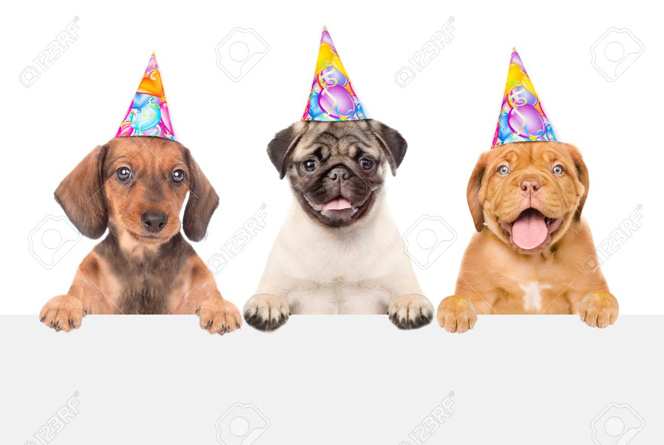 Group Of Puppies In Birthday Hats Above White Banner Isolated On Background Stock