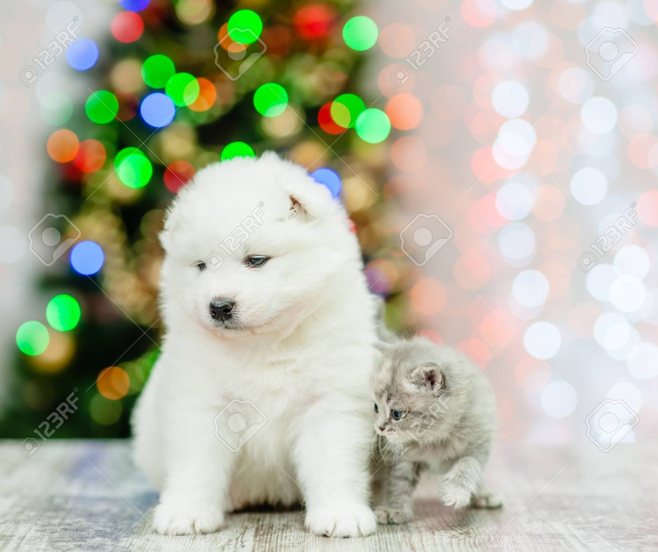 Baby Samoyed Puppy And Tiny Kitten Sitting Together With Christmas Stock Photo Picture And Royalty Free Image Image 115536148