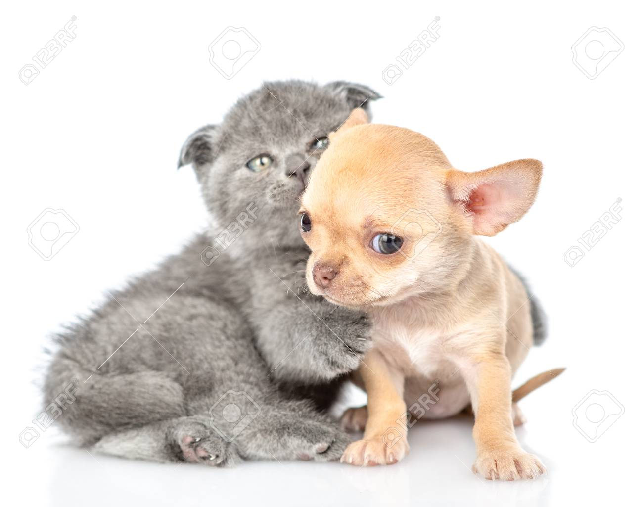 Playful Baby Kitten And Tiny Chihuahua Puppy Together Isolated Stock Photo Picture And Royalty Free Image Image 119573448
