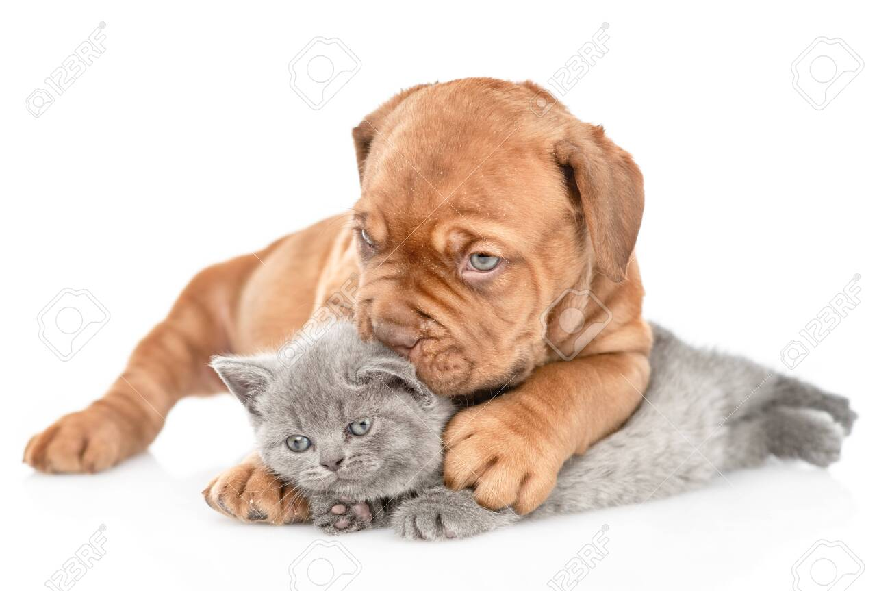 Playful puppy kisses kitten. isolated on white background. - 121614297