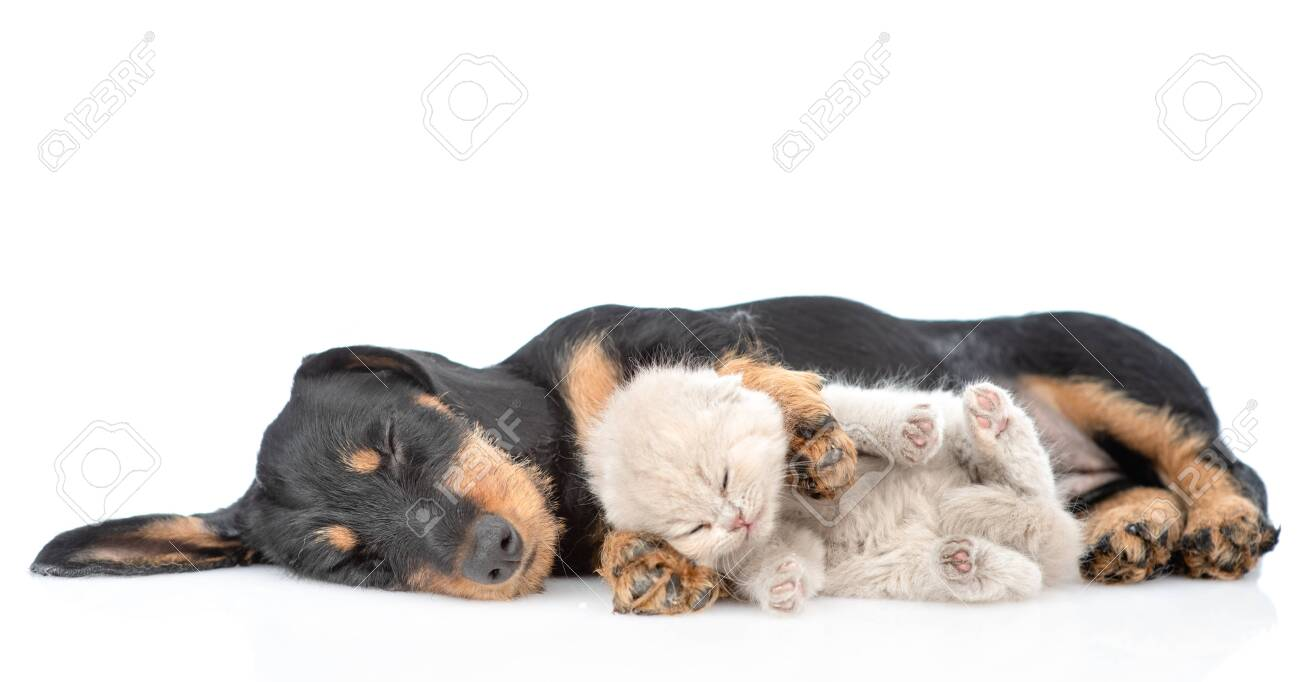 Funny Dachshund Puppy Sleeping With Tiny Gray Kitten Isolated Stock Photo Picture And Royalty Free Image Image 127351460