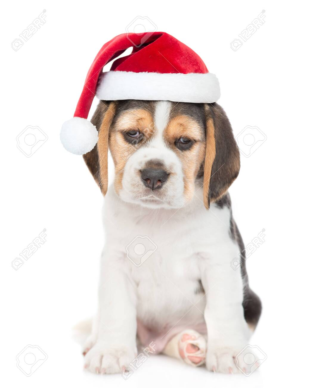 Beagle Puppy In Red Christmas Hat Looking At Camera Isolated Stock Photo Picture And Royalty Free Image Image 128865711