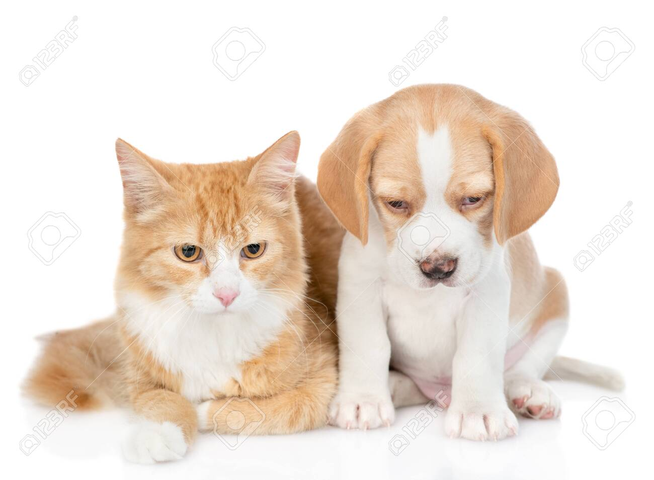 Beagle Puppy And Red Tabby Cat Looking Down Together Isolated Stock Photo Picture And Royalty Free Image Image 130264483