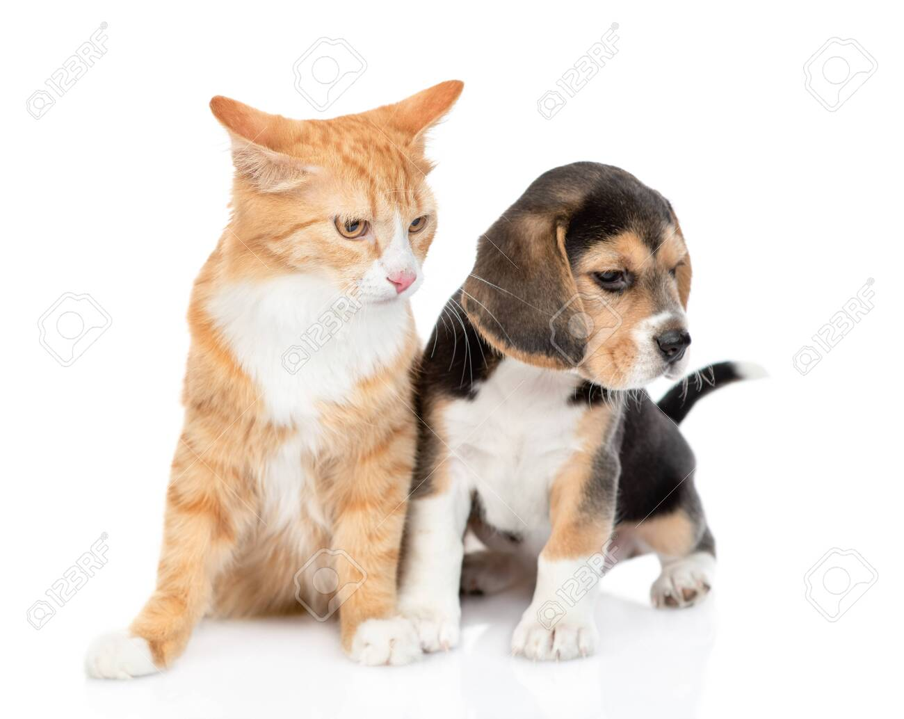 Cute Beagle Puppy And Red Tabby Cat Looking Away Together Isolated Stock Photo Picture And Royalty Free Image Image 136377515