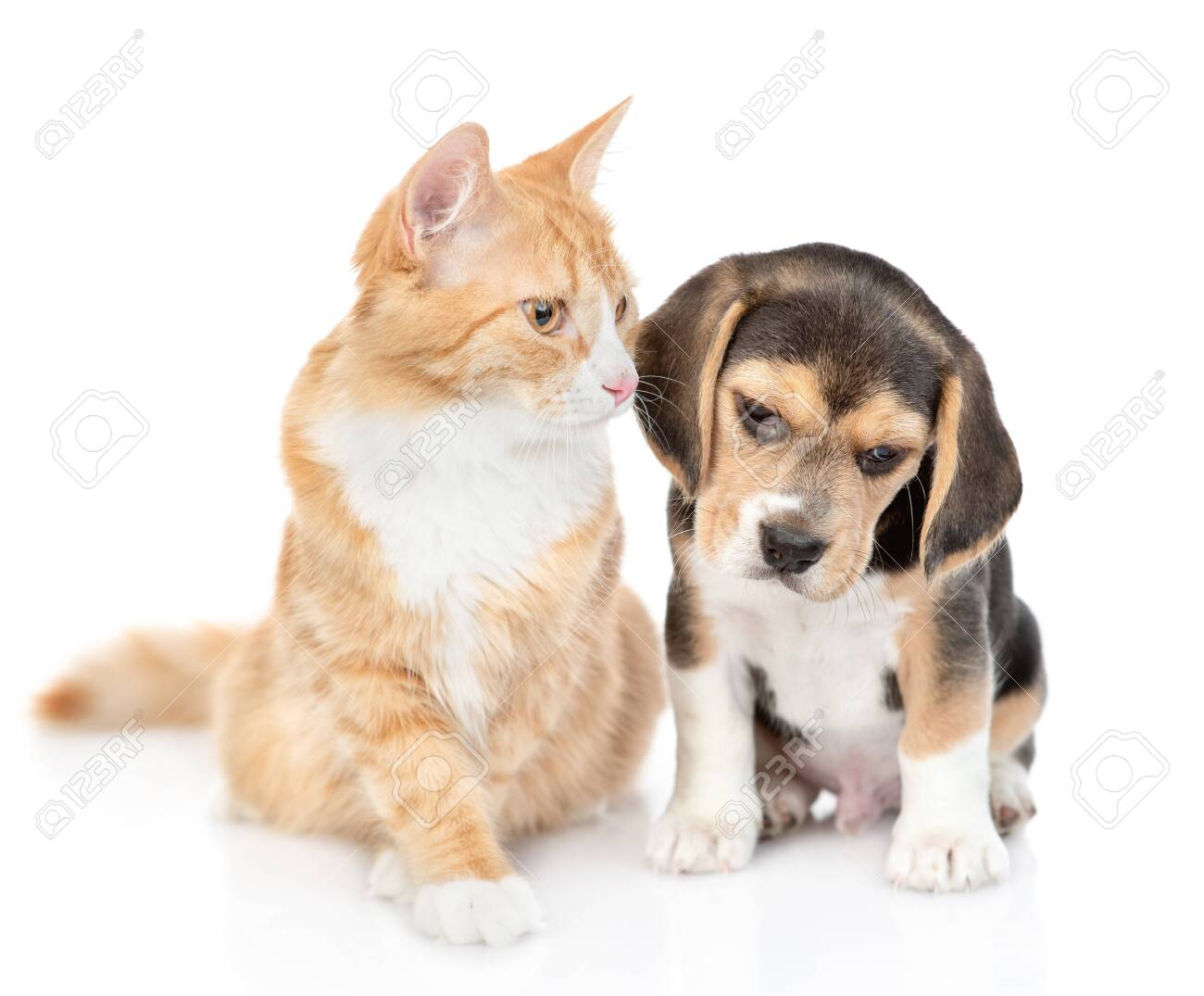 Beagle Puppy And Red Tabby Cat Together Isolated On White Background Stock Photo Picture And Royalty Free Image Image 132944979