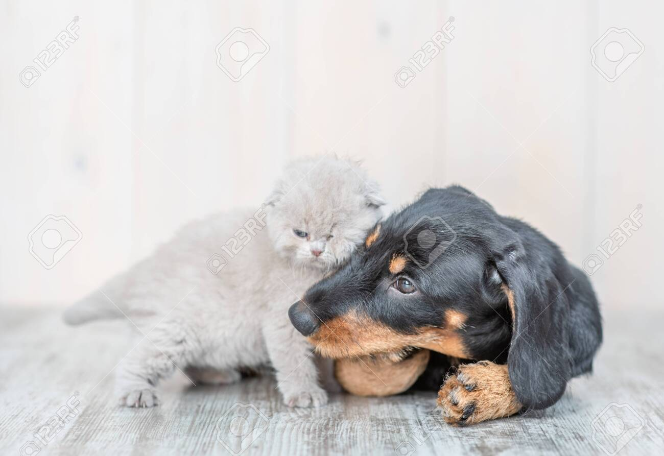 Playful Kitten With Baby Dachshund Puppy On The Floor At Home Stock Photo Picture And Royalty Free Image Image 136561592
