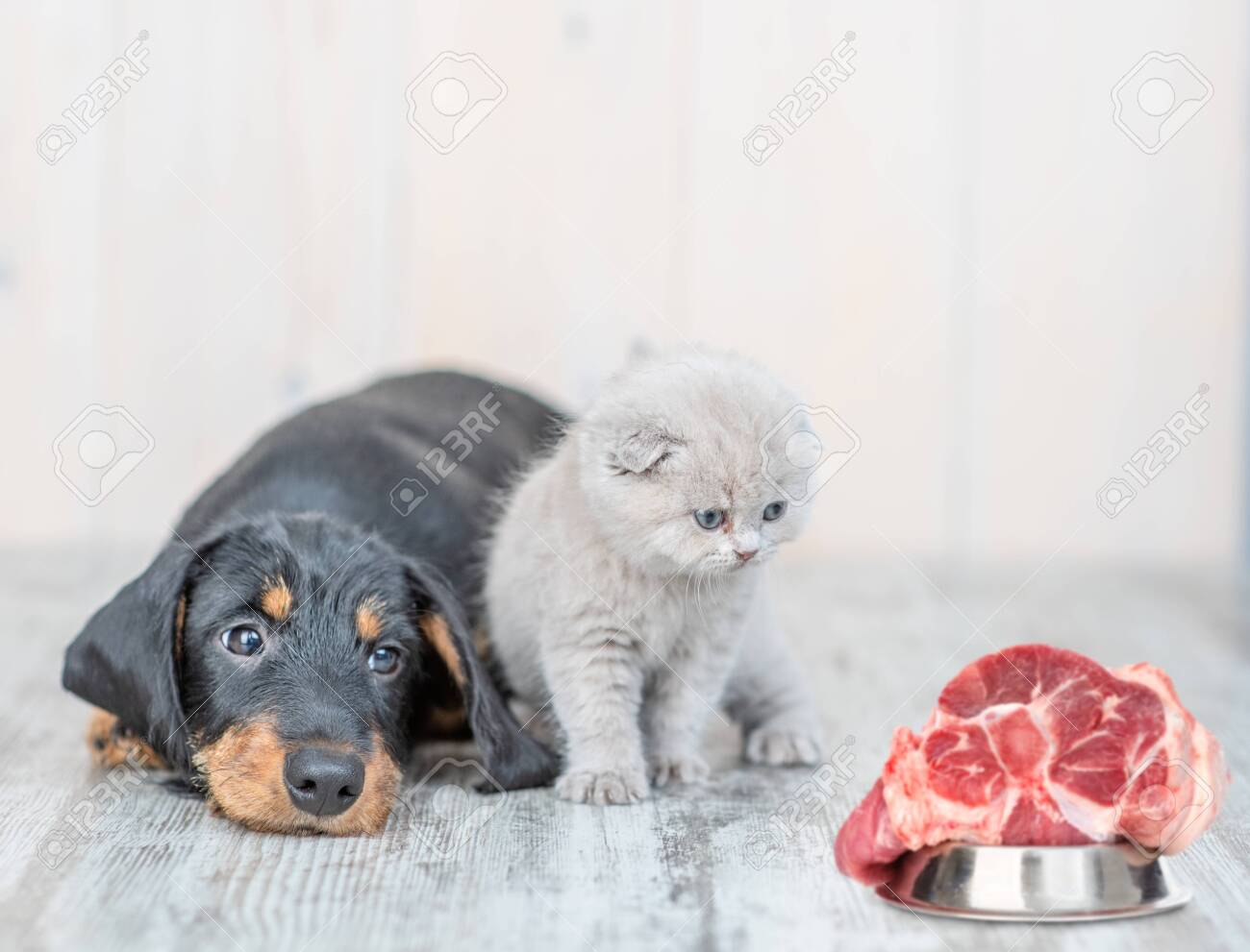 Cute Baby Kitten Sitting With Dachshund Puppy On The Floor At Stock Photo Picture And Royalty Free Image Image 136561717