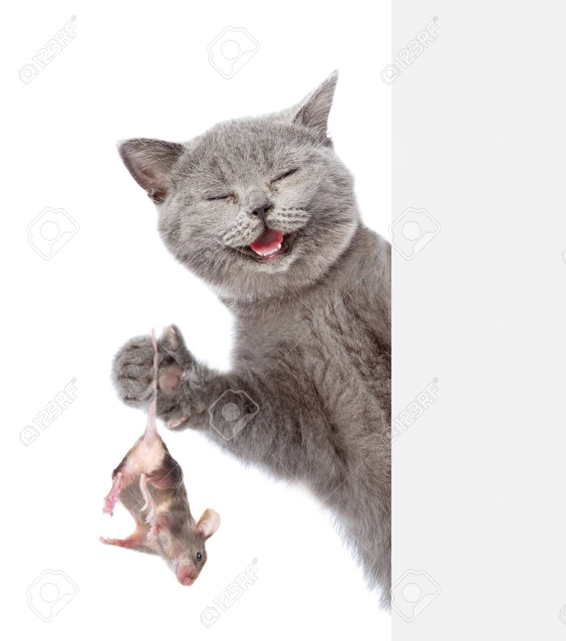 Happy cat caught a mouse and holds in its paws behind empty white banner. Isolated on white background. - 140939118