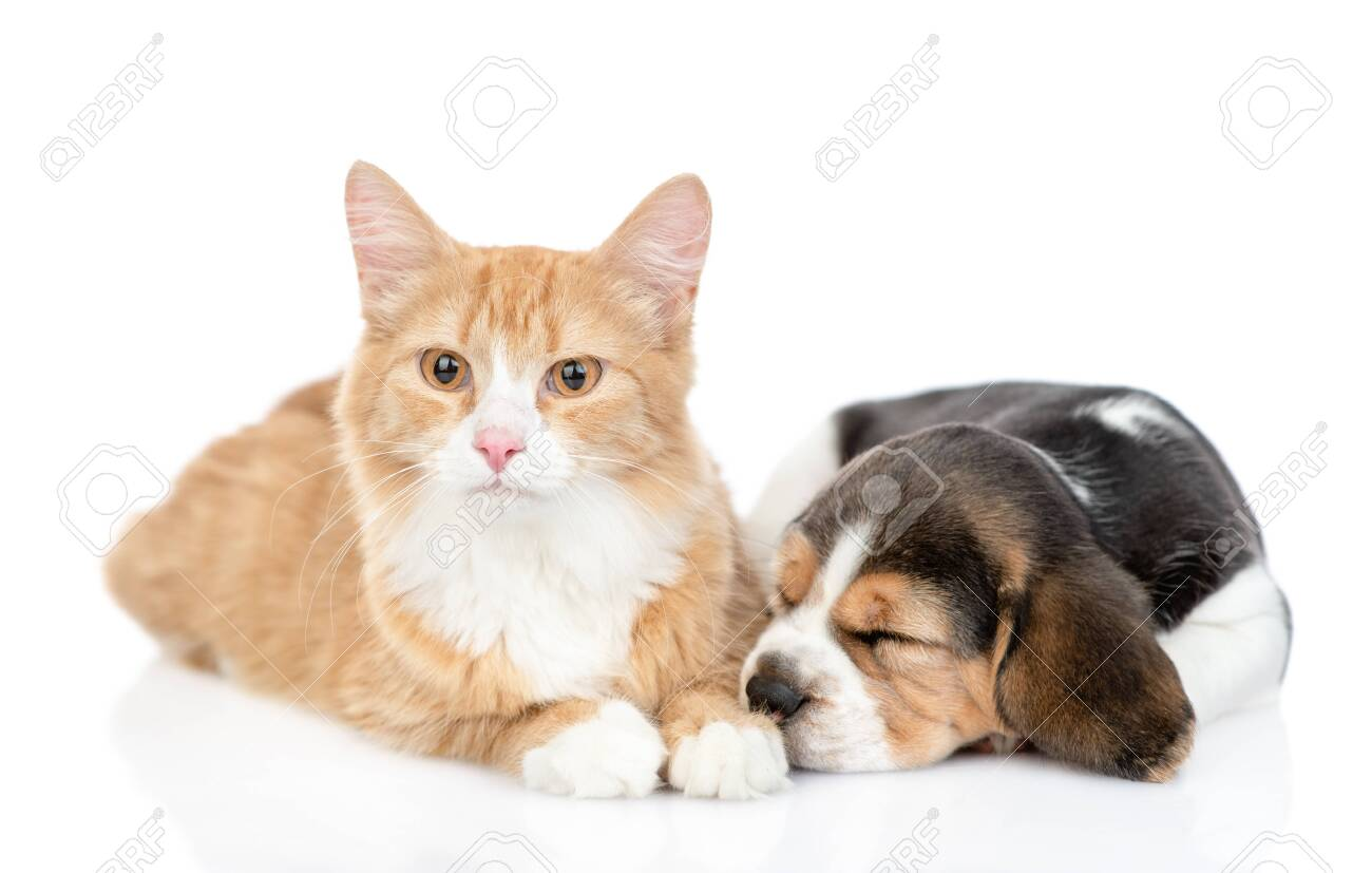 Beagle Puppy Sleeping With Red Tabby Cat Isolated On White Background Stock Photo Picture And Royalty Free Image Image 144696033