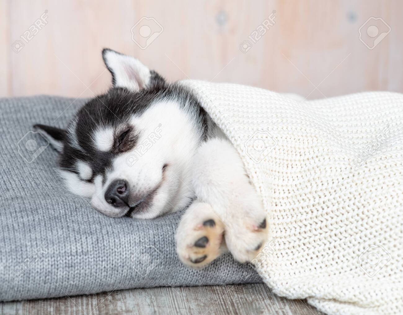 Sleeping Siberian Husky Puppy Sleep On Pillow Under Blanket Stock Photo Picture And Royalty Free Image Image 146540747