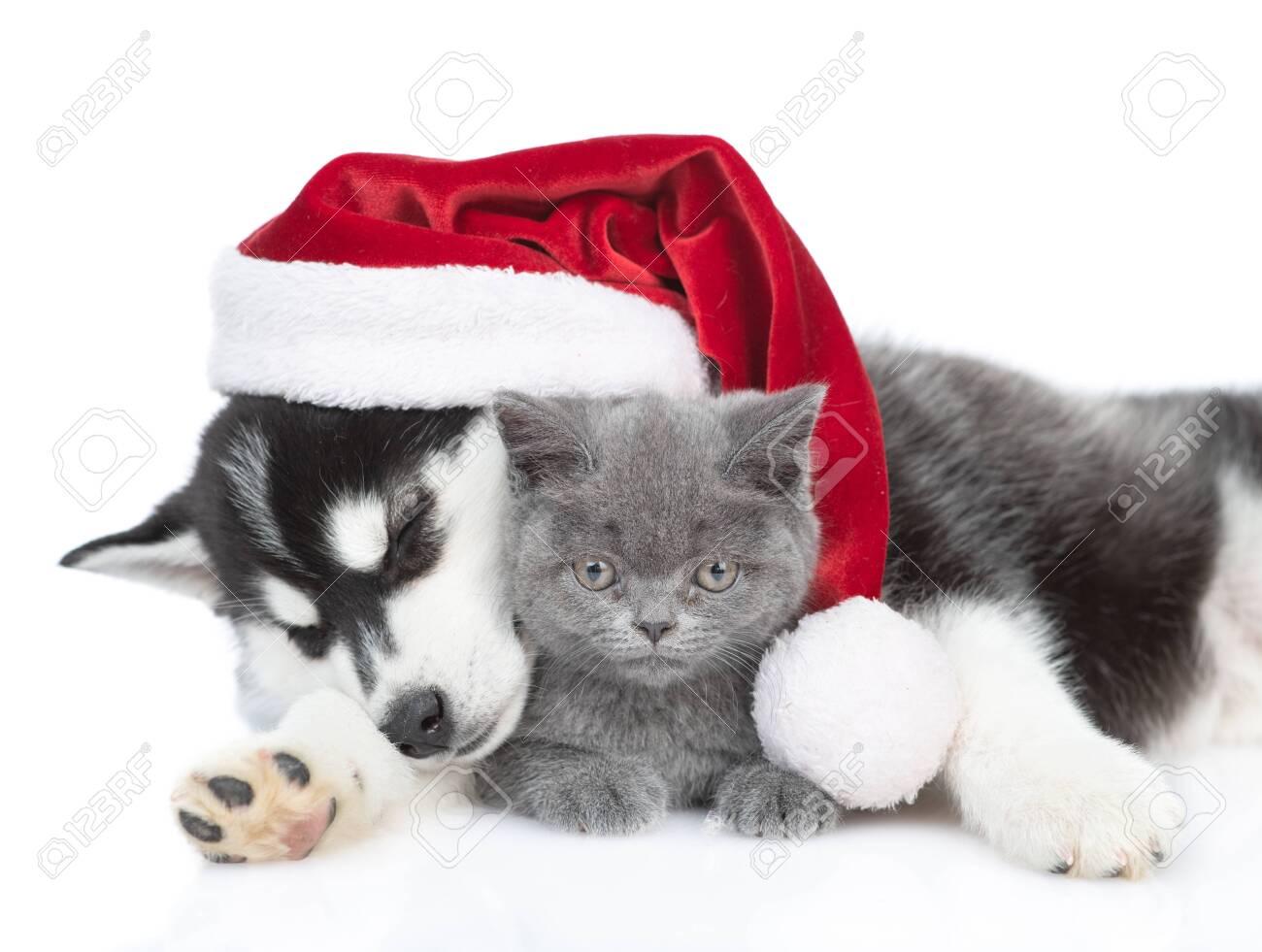Sleepy Siberian Husky puppy in red santa hat hugging british kitten. isolated on white background. - 146541899