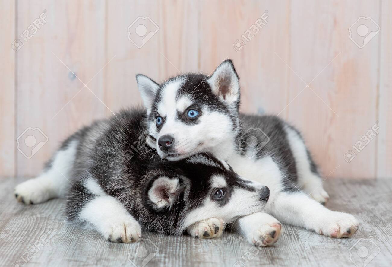 Siberian Husky Puppies Lie On The Floor At Home Stock Photo Picture And Royalty Free Image Image 150794349