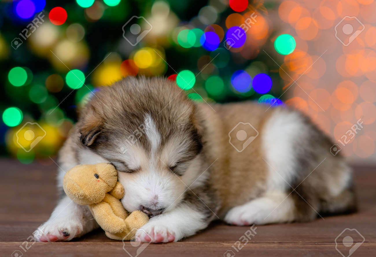 Funny Alaskan malamute puppy sleeps with toy bear with Christmas tree on background. - 158274547