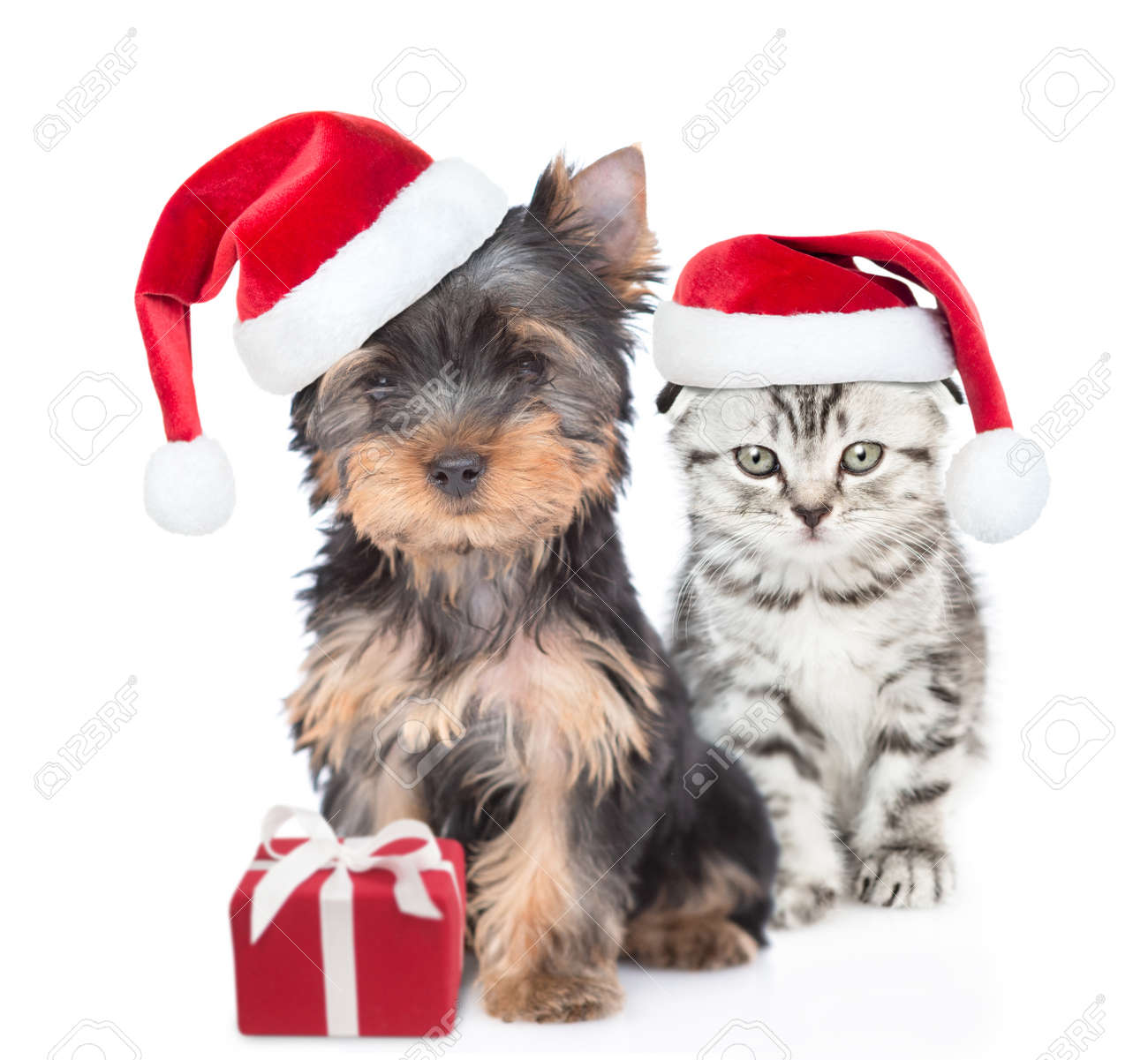 Yorkshire Terrier puppy and gray kitten wearing red christmas hats sit together with gift box. isolated on white background. - 167146998