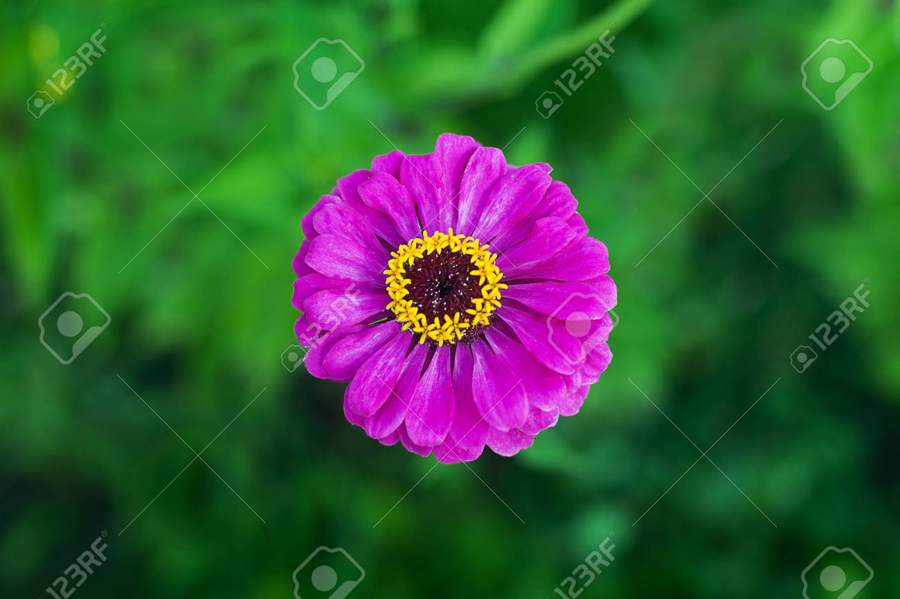 Purple Zinnia Flower On Green Background In A Park Close Up Stock