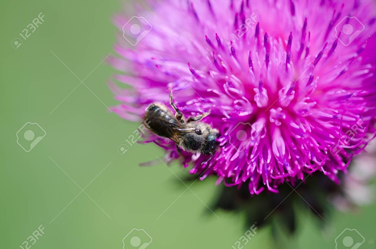 Bee on thistle flower  Apis mellifera Stock Photo - 13999583